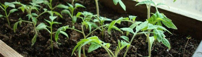 Технология посадки томатов рассадным методом