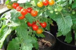 Перцы и помидоры на балконе