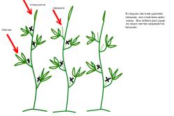 Схема формирования куста томатов