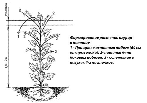 Схема формирования огурца в