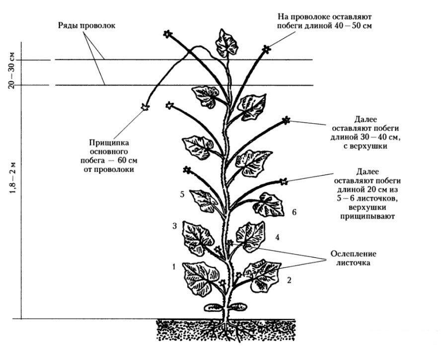 Схема формирования огурцов
