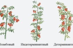 Схема пасынкования томатов в теплице: формирование куста