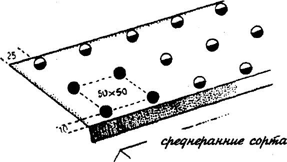 Схема посадки цветной капусты