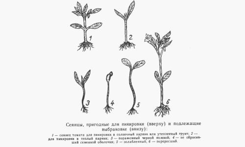 Схема пригодности сеянцев томатов