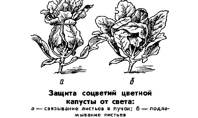 Выращивание капусты все этапы 38