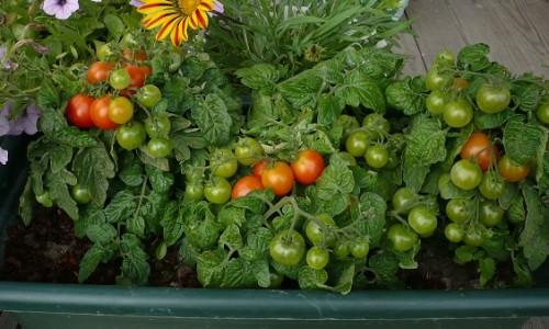 """Выращивание томата """"Пиноккио"""""""