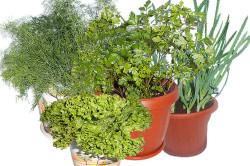 Выращивание зелени в комнатных условиях