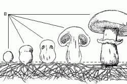 Схема развития шампиньона обыкновенного