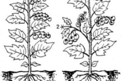 Формирование растения томата в открытом грунте