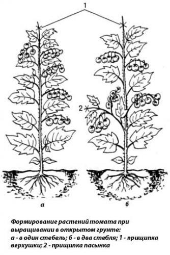 Формирование растения томата в