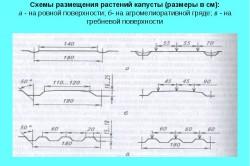 Схема размещения растений капусты