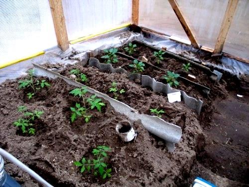 Удобрение и окучивание рассады