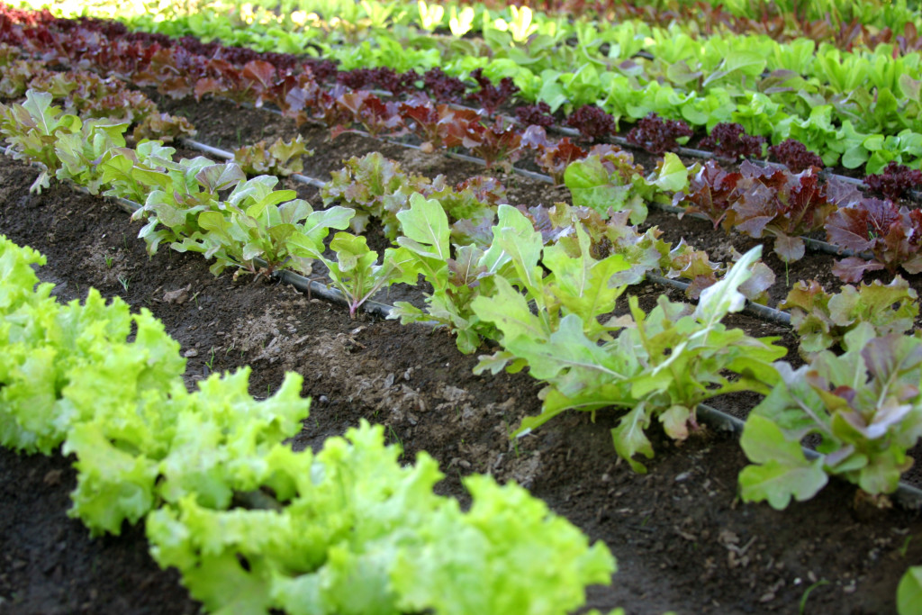 Все о выращивании салата 85