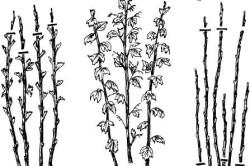Схема обрезки куста малины