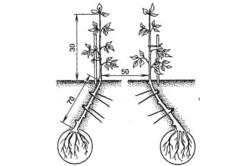 Схема высадки баклажанов