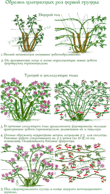 Можно ли сажать плетистую розу осенью 81