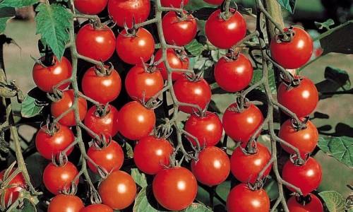 Пример выращенных томатов
