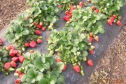 Урожай клубники