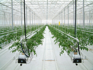 Выращивание перца.