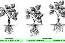 Схема посадки клубники относительно высоты корней