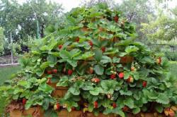 Выращивание клубники пирамидой