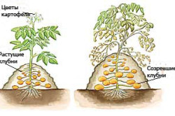 Технология выращивания картофеля под холмиком мульчи