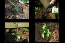 Этапы высадки перца в открытый грунт
