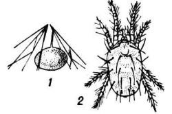Обыкновенный паутинный клещ