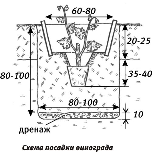 Схемы посадок винограда
