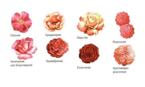 http://vseoteplicah.ru/wp-content/uploads/2014/05/Primery-grupp-sadovyh-roz1-500x300.jpg