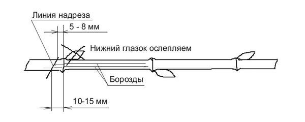 Схема выращивания саженцев