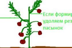 Схема формирование высокорослых детерминантных томатов