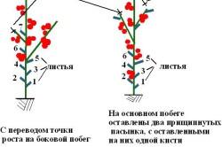 Схема формирования детерминантного томата