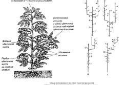 Схема формирования помидоров в теплице