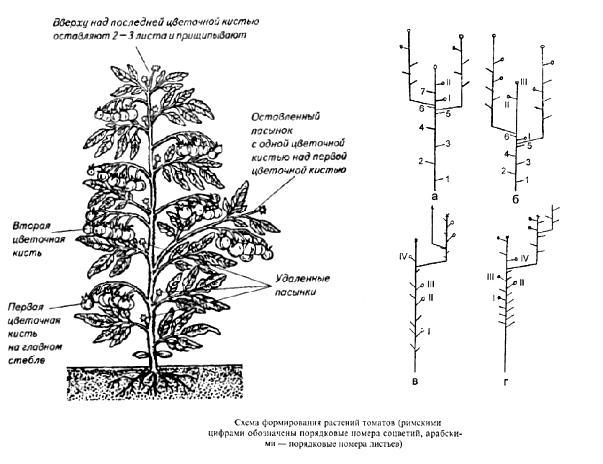 Схема формирования помидоров в