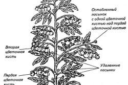Схема формирования растения томата в теплице