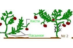 Схема формирования супердетерминантных томатов