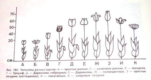 Схема классификации тюльпанов