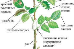 Схема-описание и методы лечения и профилактики основных заболеваний, от которых страдают розы.