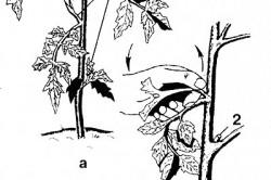 Стандартный метод пасынкования огурцов
