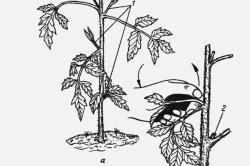 Схема пасынкования томатов.