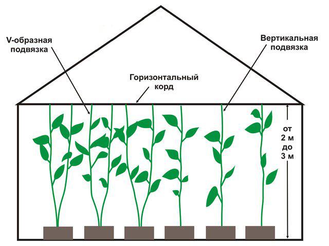 Схема подвязки перца.