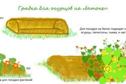 Схема выращивание огурцов в открытом грунте и уход за ними