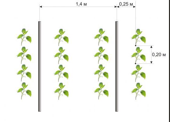 Схема посадки перца.