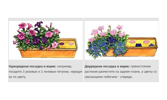 Схема посадки цветов петунии