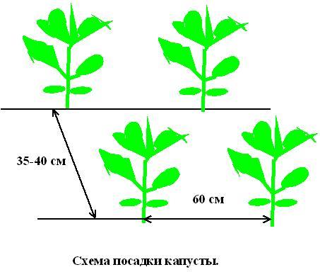 схема посадки капуста кольраби