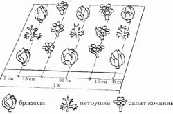 Схема посадки петрушки с другими культурами