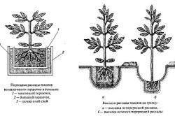 Схема посадки рассады томатов в грунт.
