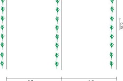 Схема посадки сахарной кукурузы
