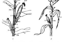 Структурастебля кукурузы.